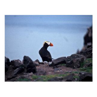 Cartão Postal Ilha adornada de Bogoslof do papagaio-do-mar
