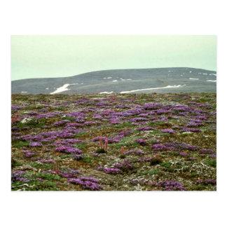 Cartão Postal Ilha de St Matthew, (ou roxo) Oxytrope enegrecido