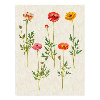 Cartão Postal Ilustração botânica do Calendula do vintage