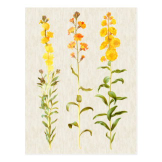 Cartão Postal Ilustração botânica do Wallflower do vintage