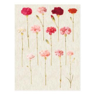 Cartão Postal Ilustração botânica dos cravos do vintage