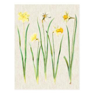Cartão Postal Ilustração botânica dos Daffodils do vintage