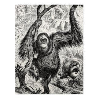 Cartão Postal Ilustração do orangotango do vintage - macaco