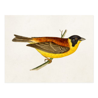 Cartão Postal Ilustração do pássaro da canção do vintage -