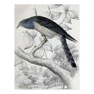 Cartão Postal Ilustração do pássaro do vintage do cuco de