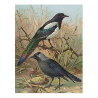 Cartão Postal Ilustração do pássaro do vintage do Magpie e do