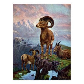 Cartão Postal Ilustração do vintage dos carneiros de Bighorn