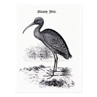 """Cartão Postal """"Ilustração do vintage dos íbis lustrosos"""""""