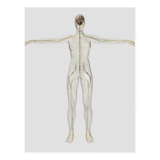 Cartão Postal Ilustração médica do sistema nervoso humano