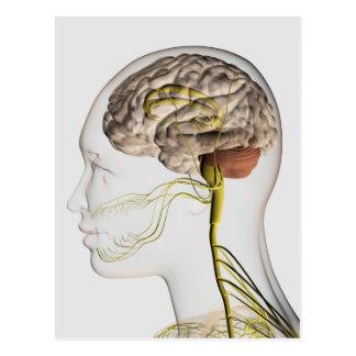 Cartão Postal Ilustração médica do sistema nervoso humano 1