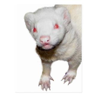 Cartão Postal Imagem da doninha do albino