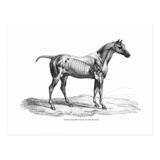 Cartão Postal Imagem retro da anatomia do músculo do cavalo