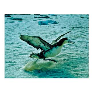 Cartão Postal IMM. albatroz Curto-atado