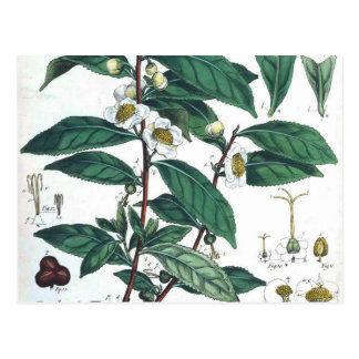 Cartão Postal Impressão botânico do chá verde do vintage