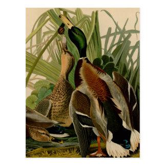 Cartão Postal Impressão do vintage do pássaro do pato do pato