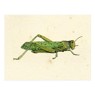 Cartão Postal Impressão limitado do gafanhoto verde