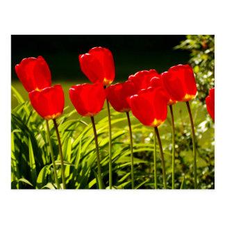 Cartão Postal impressões da tulipa