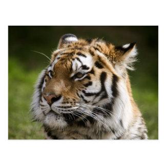 Cartão Postal Informação da espécie do tigre de Amur
