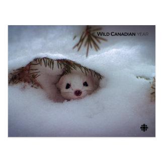 Cartão Postal Inverno - doninhas Curto-Atada