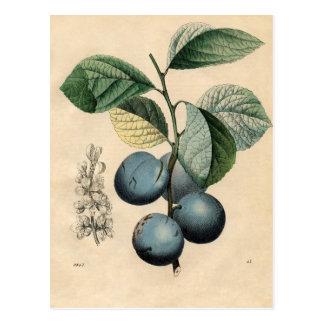 Cartão Postal iPhone botânico do impressão da ameixa do vintage