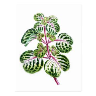 Cartão Postal Iresine Herbstii, Aureo-Reticulata