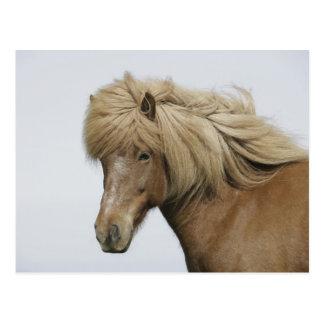 Cartão Postal Islândia. Retrato de um cavalo islandês