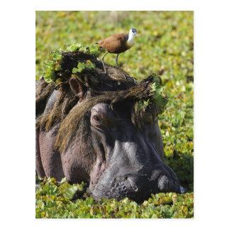 Cartão Postal Jacana que está no hipopótamo (Hippopotamus