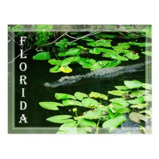 Cartão Postal Jacaré nos marismas parque nacional, Florida
