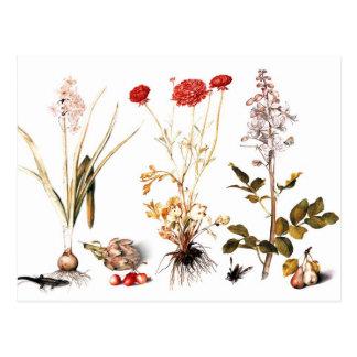 Cartão Postal Jacinto, ranúnculo e Dittany de florescência