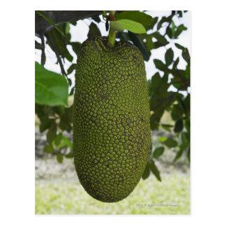 Cartão Postal Jackfruit que pendura da árvore