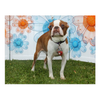 Cartão Postal Jasmim - Boston Terrier