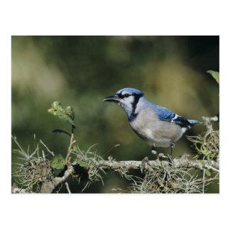 Cartão Postal Jay azul, cristata do Cyanocitta, adulto, San