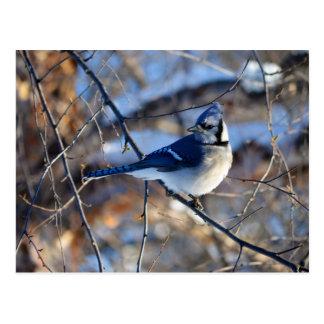 Cartão Postal Jay azul impressionante