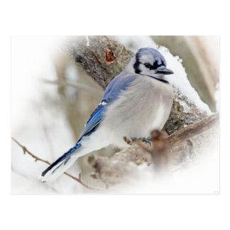 Cartão Postal Jay azul na neve do inverno