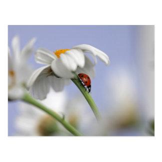 Cartão Postal Joaninha na flor