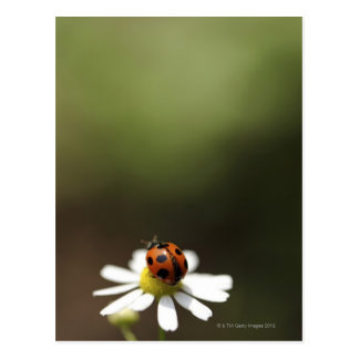Cartão Postal Joaninha na flor da camomila