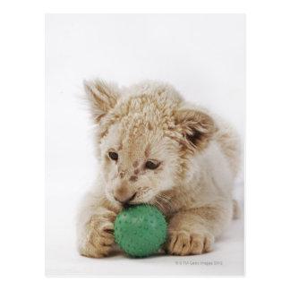 Cartão Postal Jogo branco do filhote de leão (krugeri de leo do
