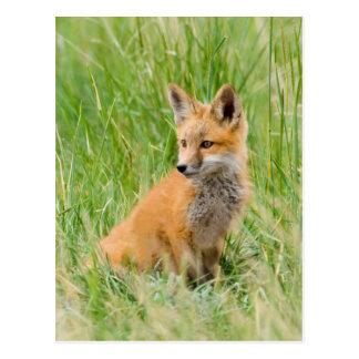 Cartão Postal Jogo do Fox vermelho na grama perto do antro