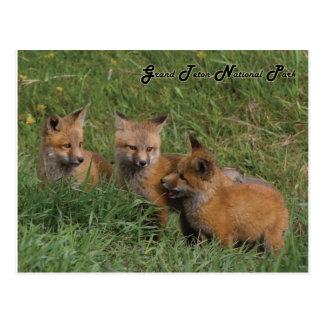 Cartão Postal Jogos grandes do Fox do parque nacional de Teton