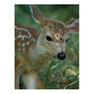 Cartão Postal Jovem corça na grama