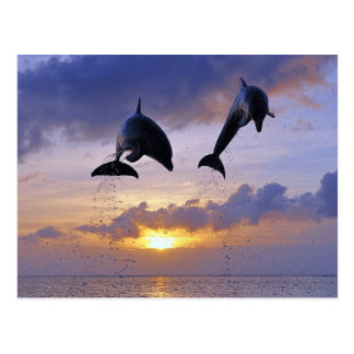 Cartão Postal Jumping at Dolphins sunset