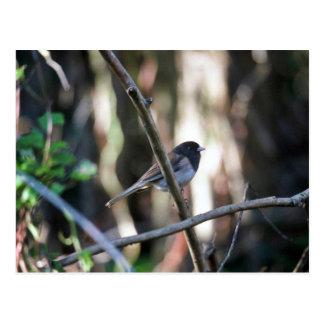 Cartão Postal junco Escuro-eyed no ramo