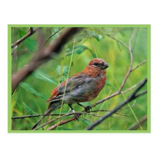 Cartão Postal Juvenil do Grosbeak de pinho