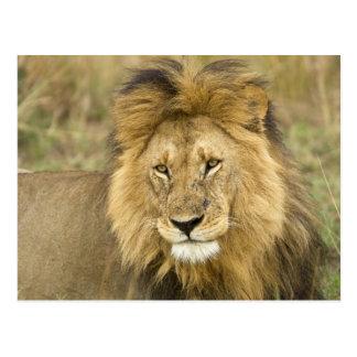Cartão Postal Kenya, Masai Mara. Fim-acima do leão. Crédito