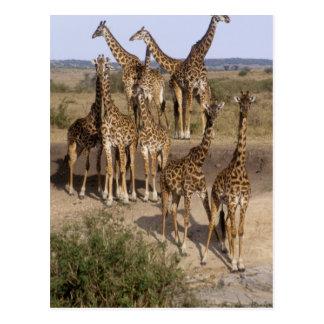 Cartão Postal Kenya: Rebanho da reserva do jogo de Mara do Masai