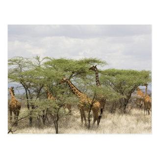 Cartão Postal Kenya, reserva nacional de Samburu. Rothschild