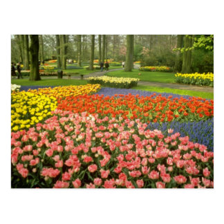 Cartão Postal Keukenhof amarelo jardina perto de Haarlem, Países
