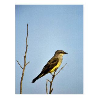 Cartão Postal Kingbird ocidental