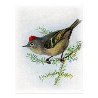 Cartão Postal Kinglet Rubi-coroado