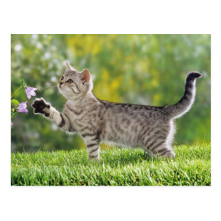 Cartão Postal Kitten American shorthair